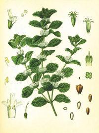 Andorn Pflanze