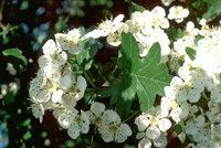 Weißdornblüten