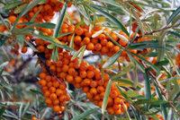 Sanddorn-Früchte