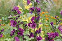 Malven-Blüten