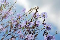Flachsblüten