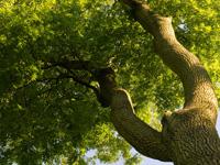 """""""Weltenbaum"""" Esche: Für Leben und Liebe"""