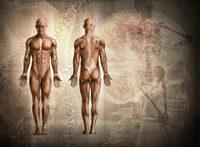 Muskel-Mensch, Vorder-/Rückseite