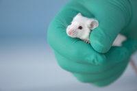 Weiße Maus in Hand m. Schutzhandschuh