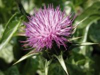 Mariendistel-Blüte