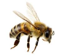 Biene, fliegend