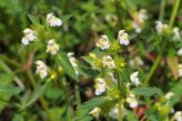 Pflanze mit weißen Blüten (Hohlzahn)