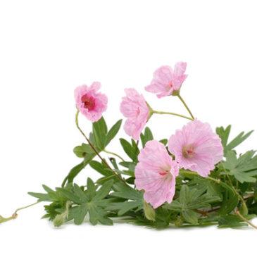 Die besten Heilpflanzen in der Frauenheilkunde