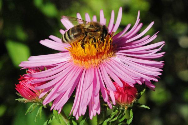 Honigbiene an Asternblüte