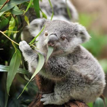 Eukalyptus: Nicht nur für Koalabären