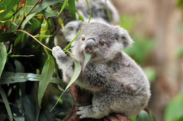 Koala-Bär im Eukalyptus-Baum