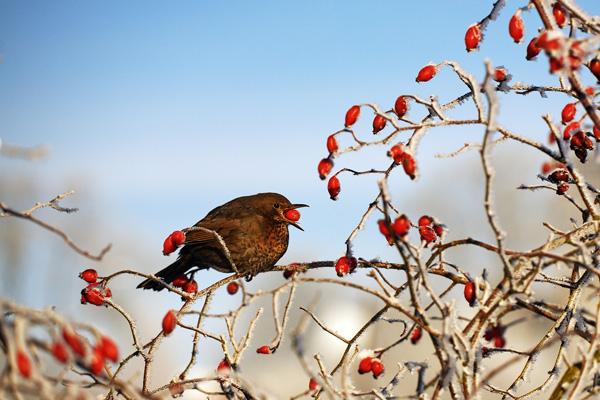 Vogel frisst Früchte im Hagebuttenstrauch
