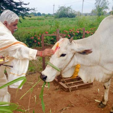 Die Milch: Ein heiliges Geschenk der Kühe