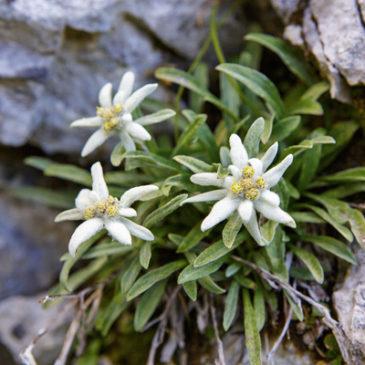 Königliche Bergblume im weißen Pelz