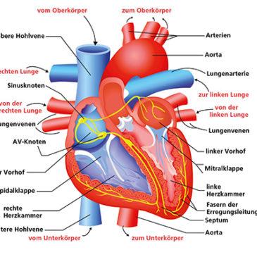 Das Herz: Zentrum unseres Lebens