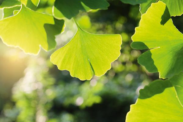 Ginkgo-Blätter am Baum